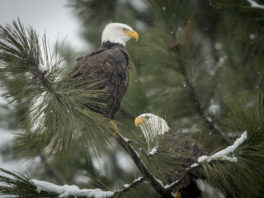 A pair of bald eagles are perched on a tree branch near Coeur d'Alene, Idaho.
